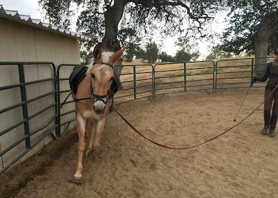 palomino mule lunging