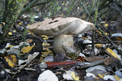 Leccinum duriusculum