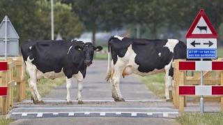 najsmesniji znakovi:  krave na putu