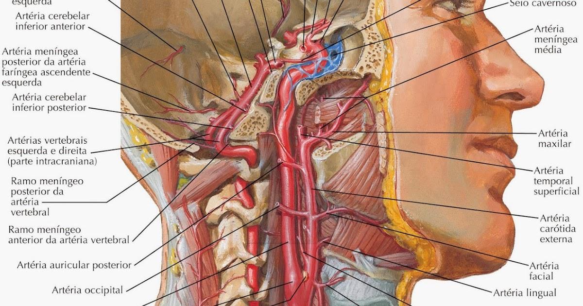 Increíble Segmentos Anatomía De La Arteria Carótida Composición ...