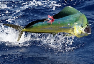Gila Mancing Strike Ikan Lemadang ( Mahi Mahi  Kompilasi Seru )