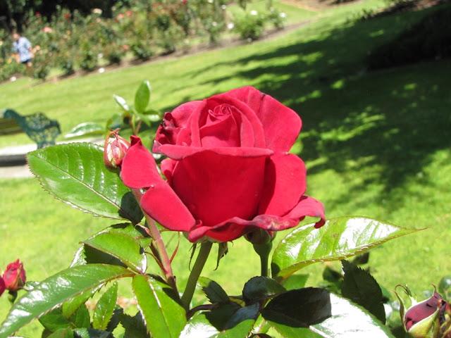 rose-hawera-nz