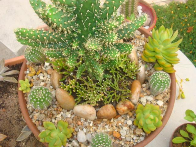 mini jardim cactos suculentas : mini jardim cactos suculentas:Suculentas E Cactos