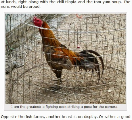 Gambar ayam Bangkok paling menarik sepanjang sejarah