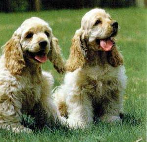 Aptitudes particulares: Perro de compañía y de caza.