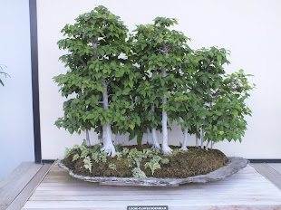 Hornbeam trees as bonsai