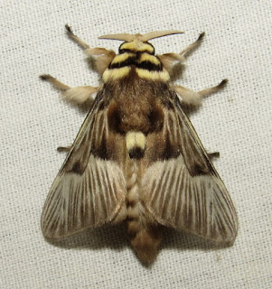 Megalopyge sp., moth