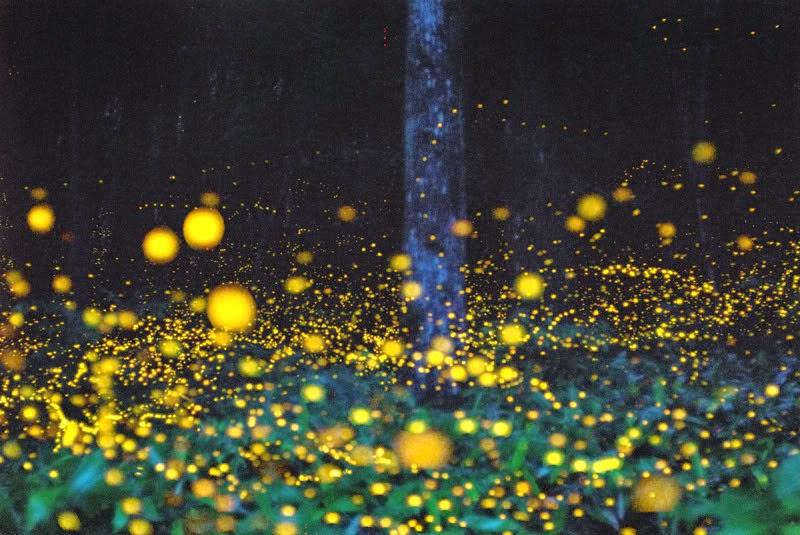 Fujimini Adventure Series: Fireflies Light Up the Night ...