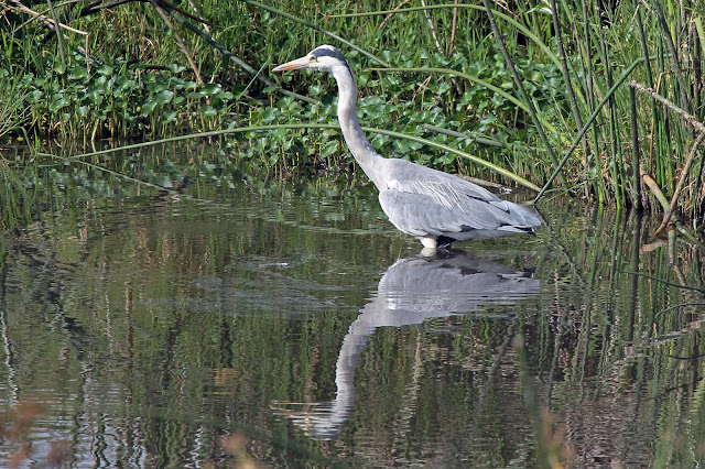Buy stretched canvas print of Grey Heron