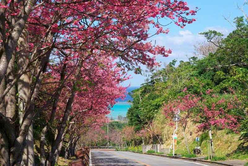 Ocean view, Cherry Blossoms, Sakura, Flowers