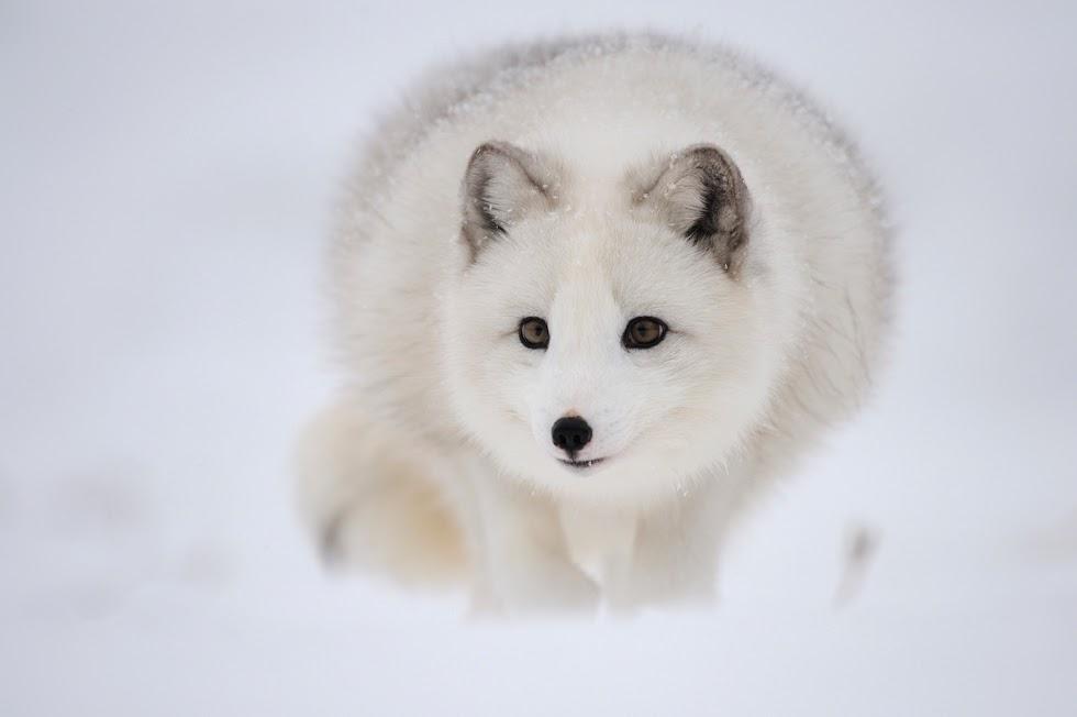 Savage Vulpes: # Le renard polaire ( ou renard Isatis ).
