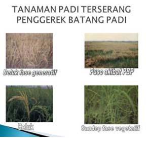 Contoh tanaman padi yang diserang oleh hama penggerek batang padi