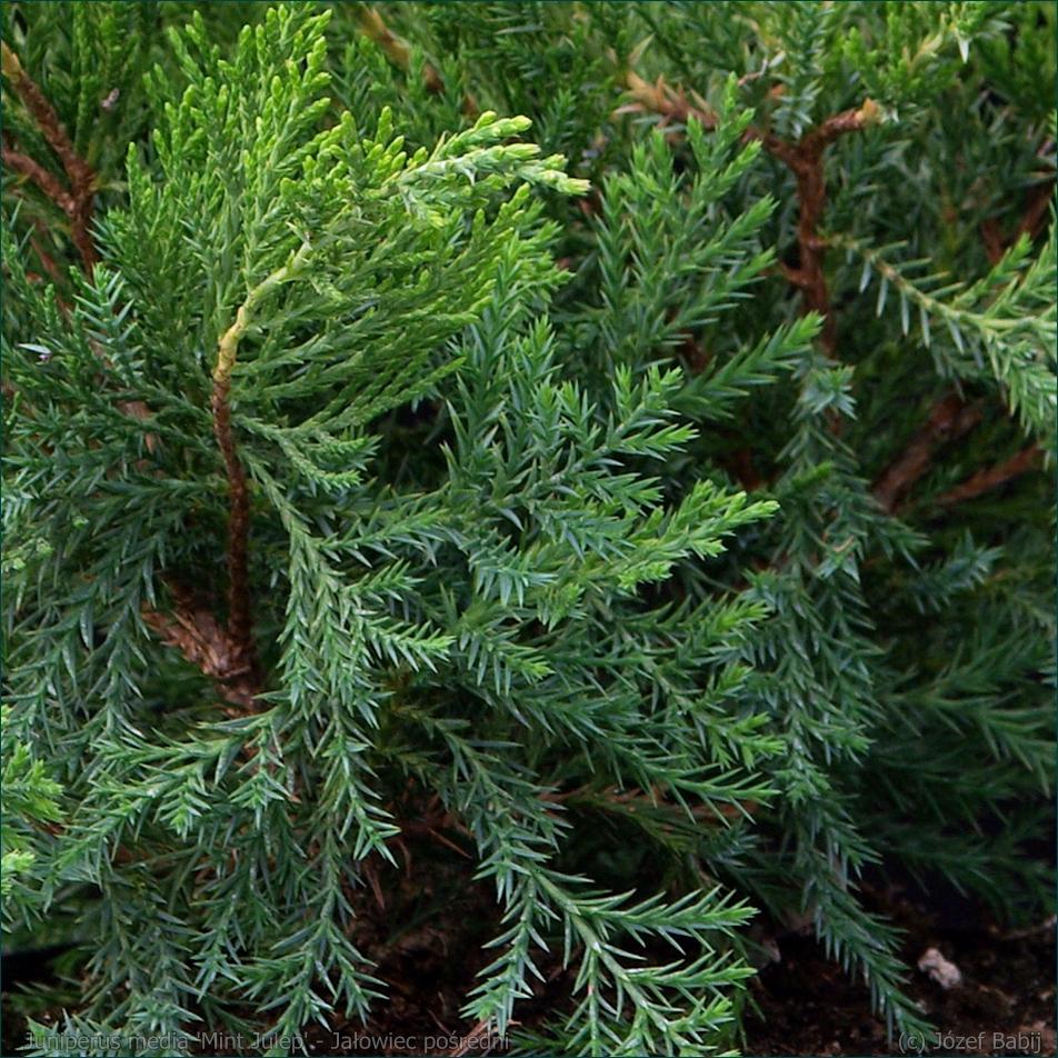 Juniperus media 'Mint Julep' - Jałowiec pośredni 'Mint Julep' igły