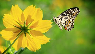 Hermosa mariposa admirando la belleza de las flores del campo