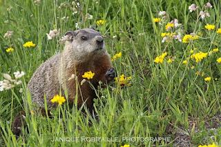 marmotte photographe janique robitaille