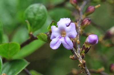 Three Photos of Duranta armata, leaves and flowers and berries