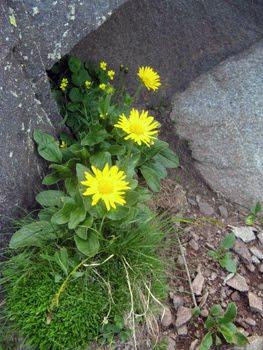 Arnica montana  (Tabacco di montagna-Betonica di monte)