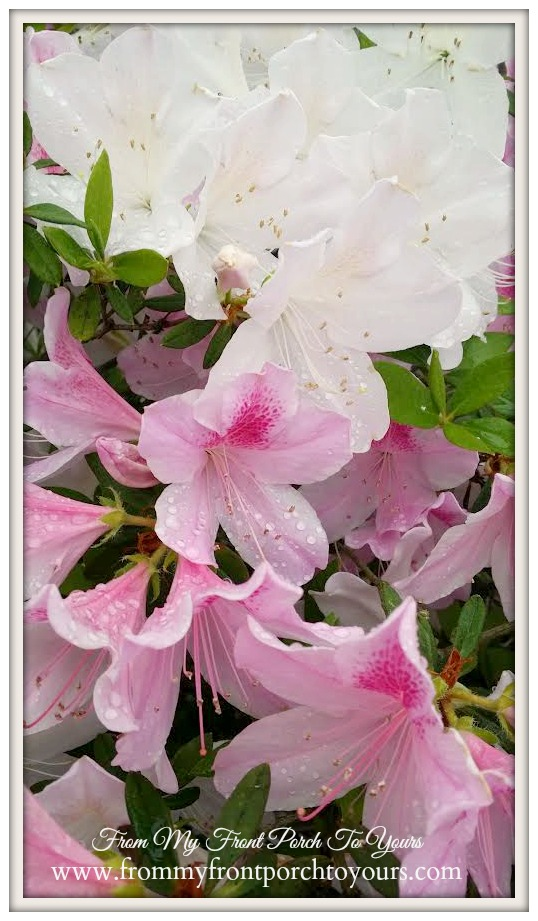Azalea Flowers- Pink- White- From My Front Porch To Yours