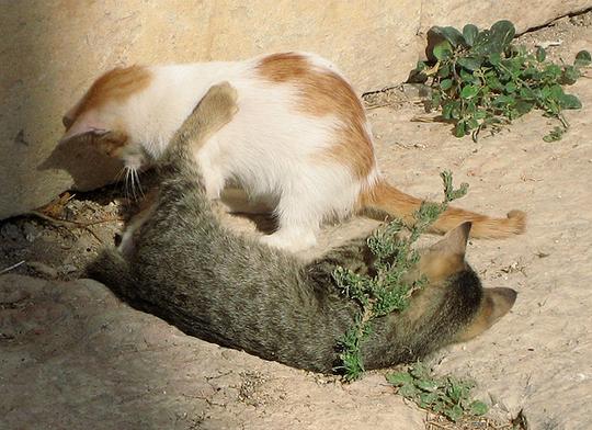 Jerash Jordan cats