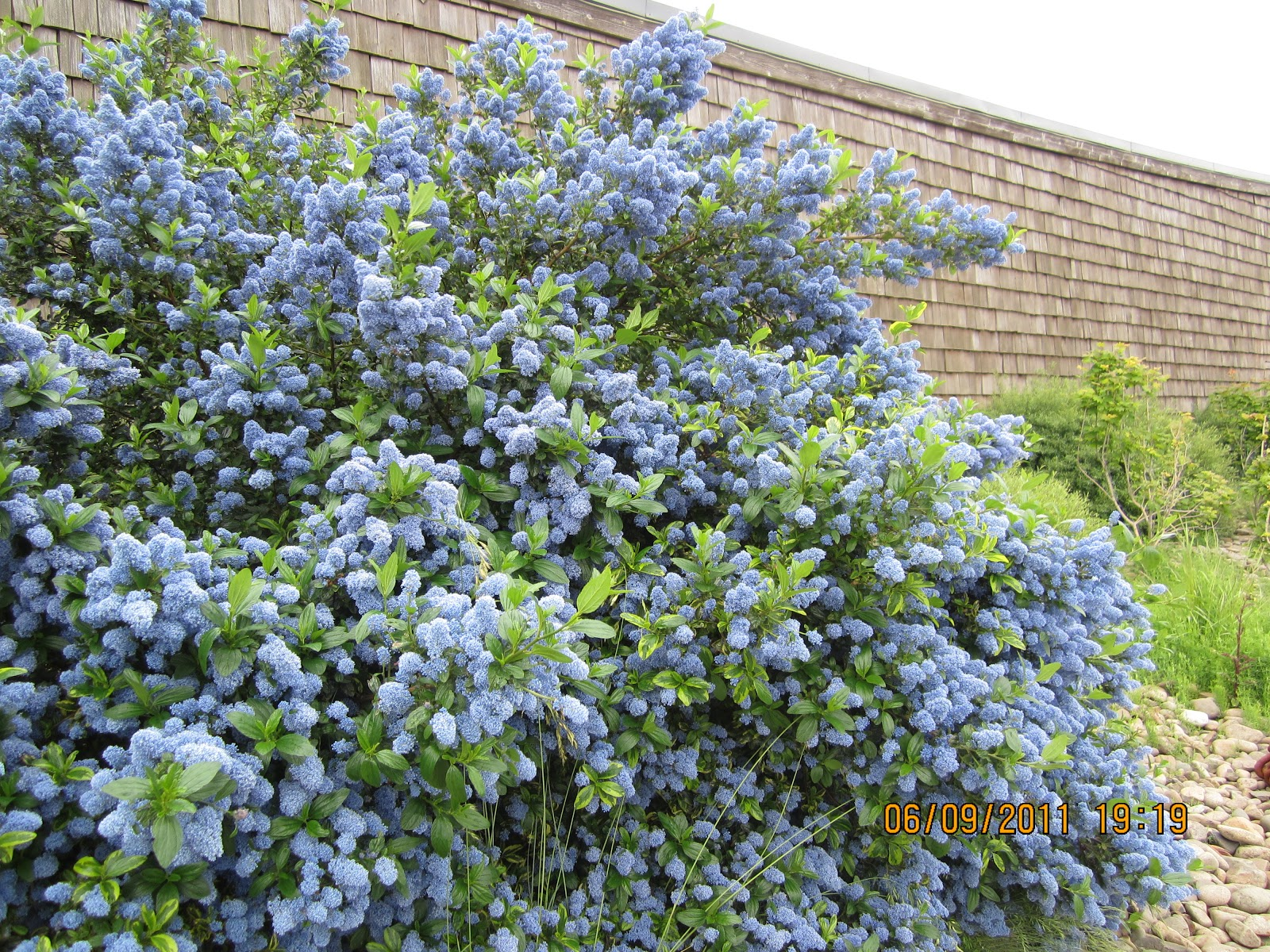 Drive camp eat day 16 astoria oregon a gem of a town for Blue flowering bush