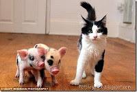 Porquinhos de estimação ao lado do gato preto e branco