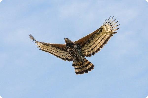 Águila Coronada Africana en Vuelo