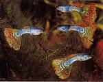 Cá 7 Màu