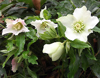 hellebore, white bloom