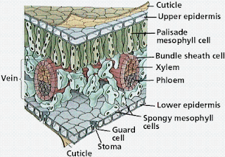 gambar struktur jaringanpada daun