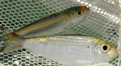 Live bait pompano beach live pilchards for bait in for Where to buy fish bait near me