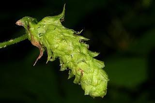 Humulus Lupulus Neomexicanus