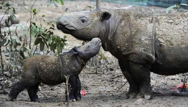 Badak Kalimantan Diyakini Punah Kembali Terdeteksi