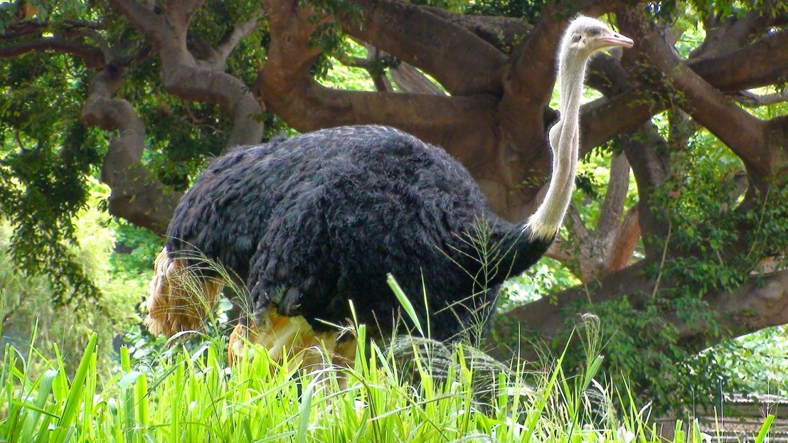 birds desert ostrich hd - photo #32