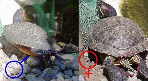 Как размножать черепах в домашних условиях 242