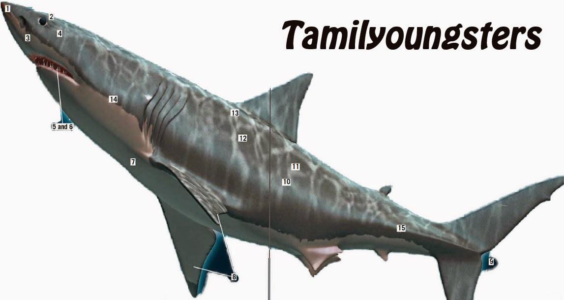 Know About Shark Article From TamilYoungsters.com | TamilYoungsters
