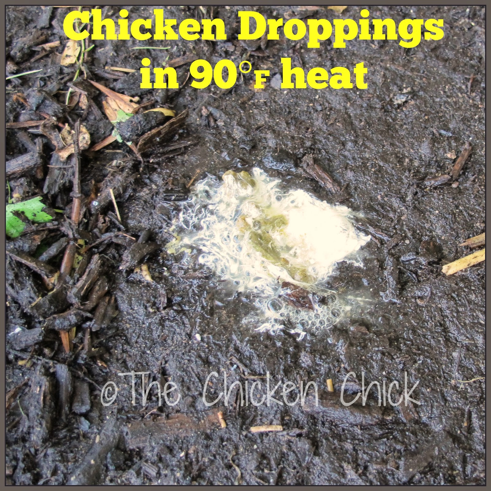 Normal chicken poop is watery in high heat due to increased water intake.