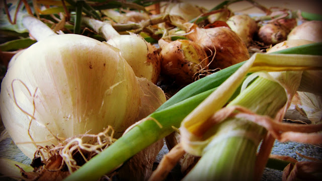 harvested onions with greens stalks on
