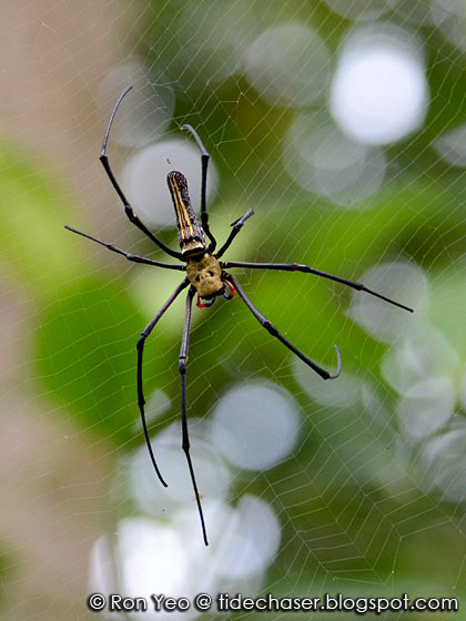 Golden Orb Web Spider (Nephila pilipes)