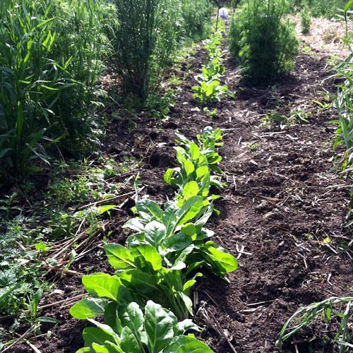 Weeded Chard Joy Field Farm 3farmsummer FoyUpdate.blogspot.com