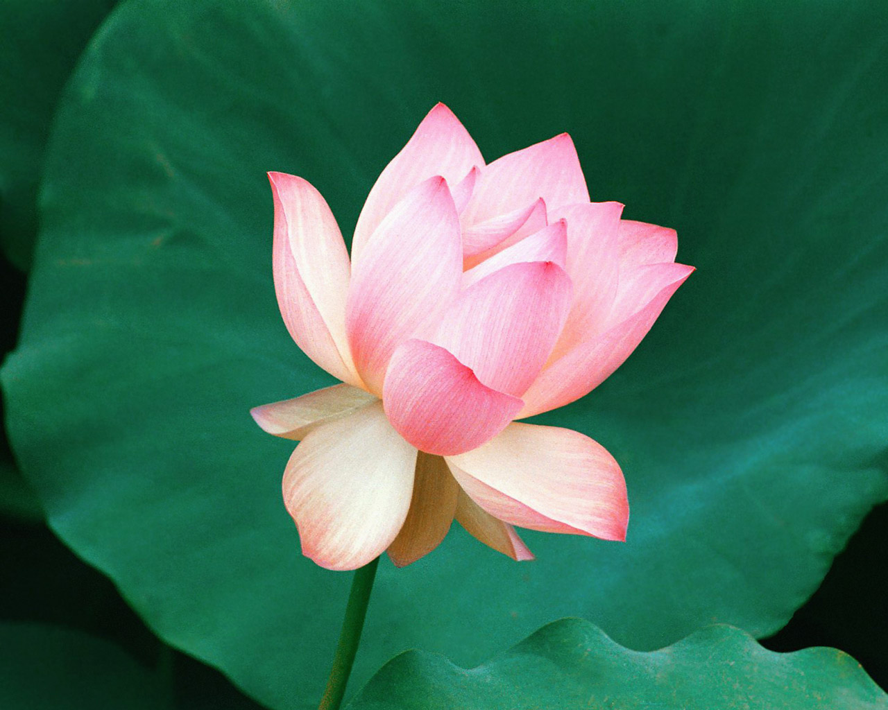 Hwfd National Indian Lotus Flower Desktop Background 1280 X 1024