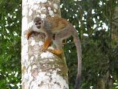 Isla de los micos. Río Amazonas