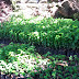 For sale: Caimito plants for Php (Philippine…