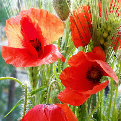 Red poppy flower