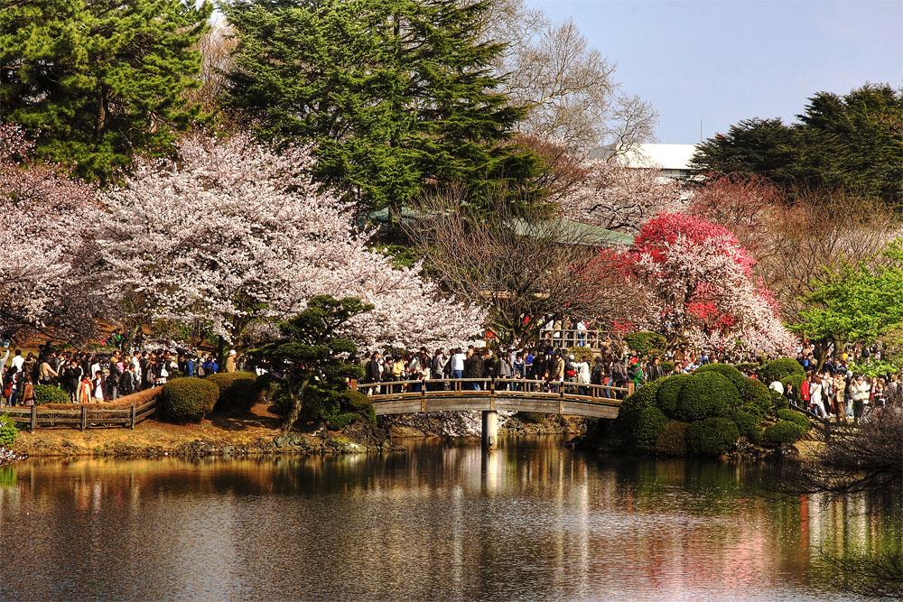 keanpoh Photographer: Sakura in Tokyo - Yasukuni Shrine, Shinjuku Gyoen &...