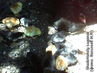 Наседка с цыплятами