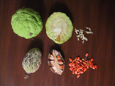 Osage Orange seeds, kentucky, tree