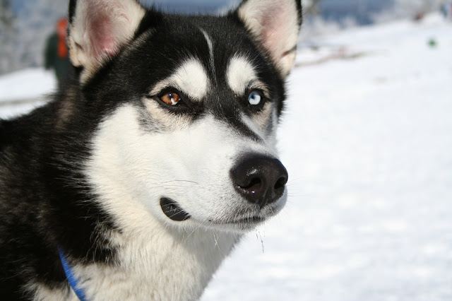 Siberian Husky different eye color
