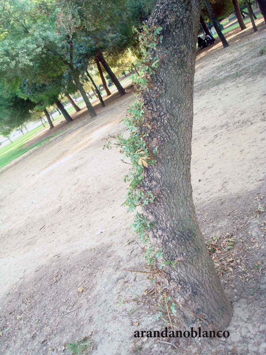 Parquealamillo encinarosa algarrobo cerationia siliqua for Vivero del parque