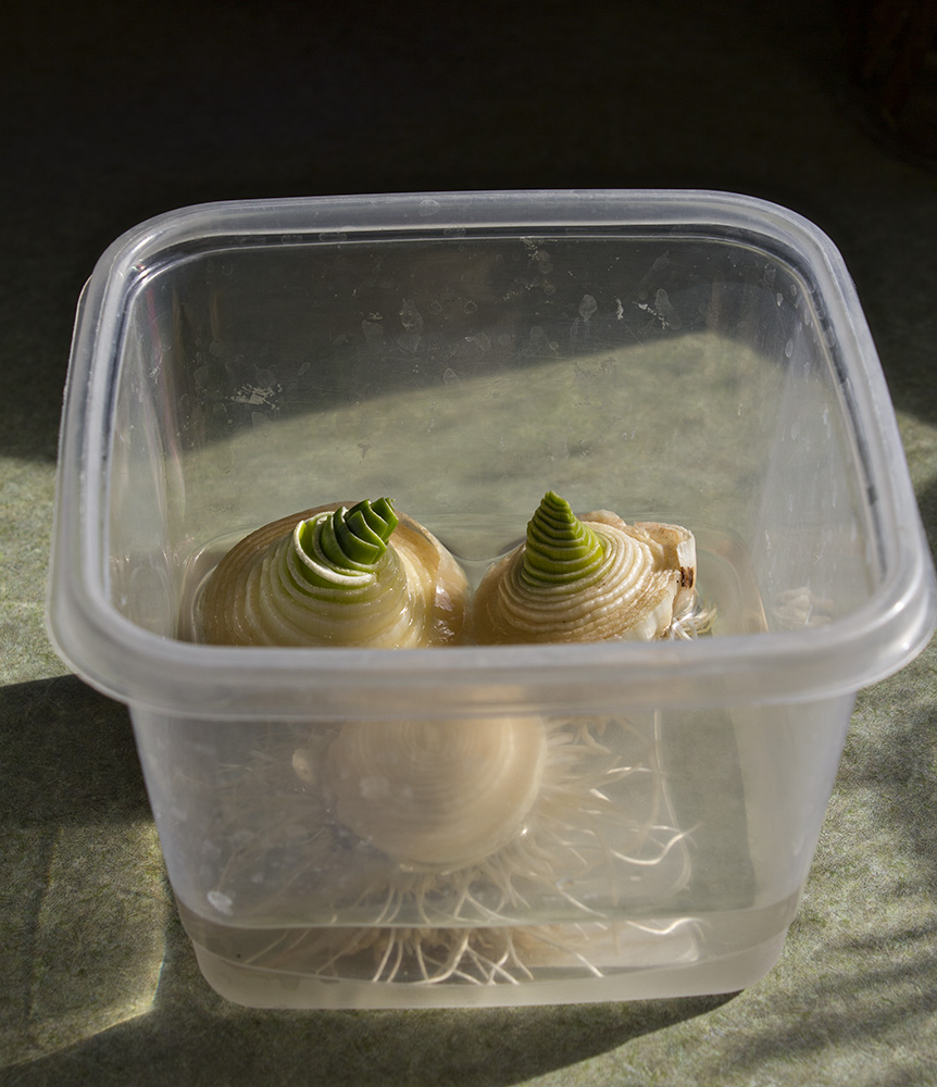 16 Foods That Ll Re Grow From Kitchen Scraps: Rurification: Re-growing Leeks