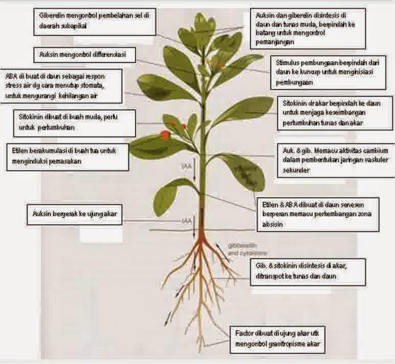 hormon tumbuhan zpt zat pengatur rumbuh